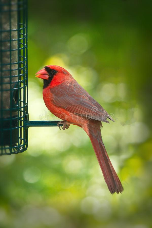 Cardenal o redbird septentrional o cardenal común - cardinalis de Cardinalis imagenes de archivo