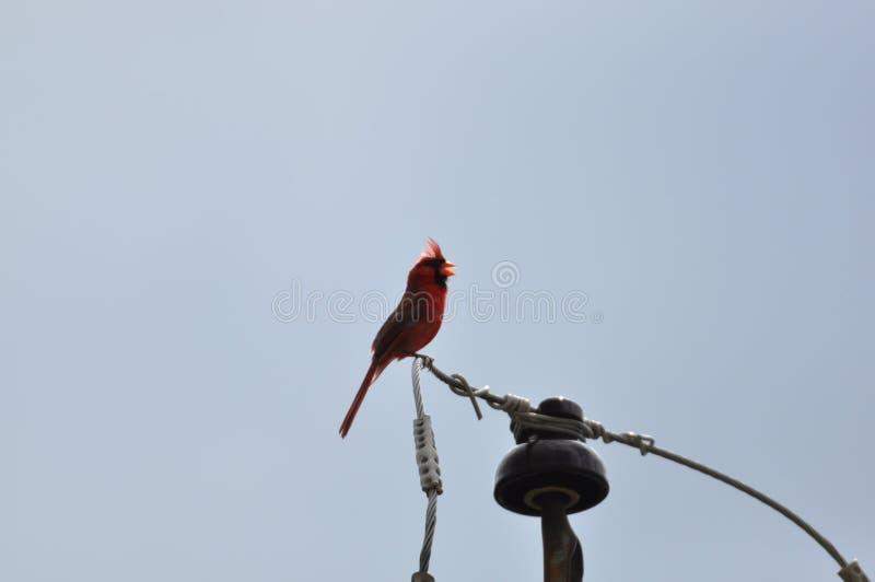Cardenal o redbird septentrional o cardenal común en Ohio fotos de archivo libres de regalías