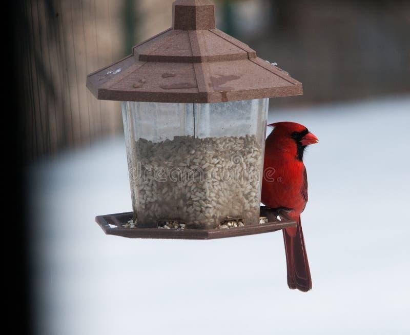 Cardenal rojo en el alimentador imagen de archivo libre de regalías
