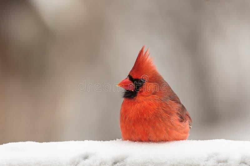 Cardenal rojo en nieve fotos de archivo