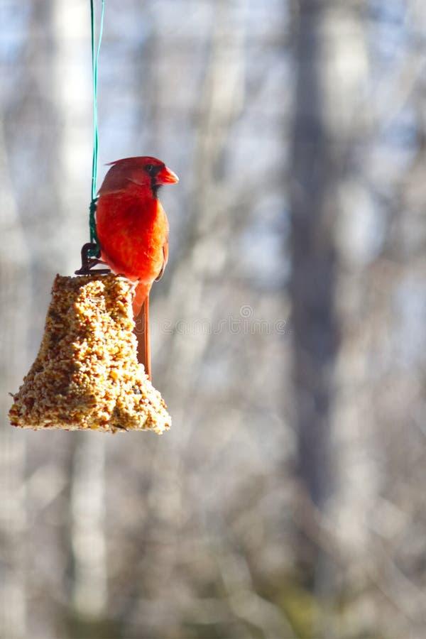 Cardenal rojo encaramado en una campana de la semilla imagen de archivo