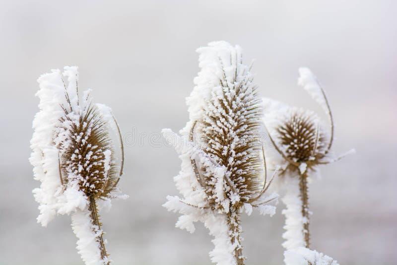 Cardi congelati fotografia stock