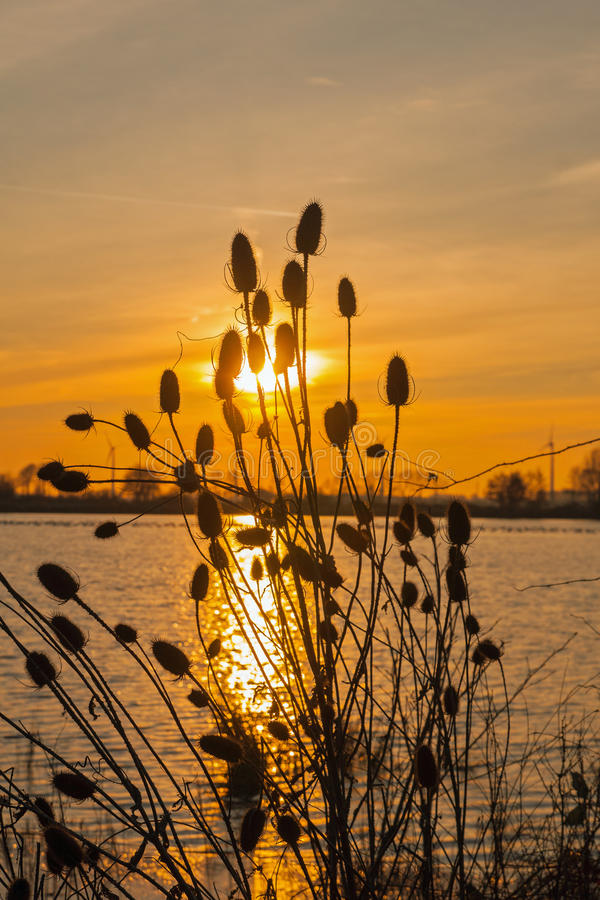 Cardi illuminati dal tramonto fotografia stock