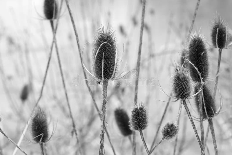 Cardi in piccolo prato nell'inverno, in bianco e nero fotografie stock libere da diritti