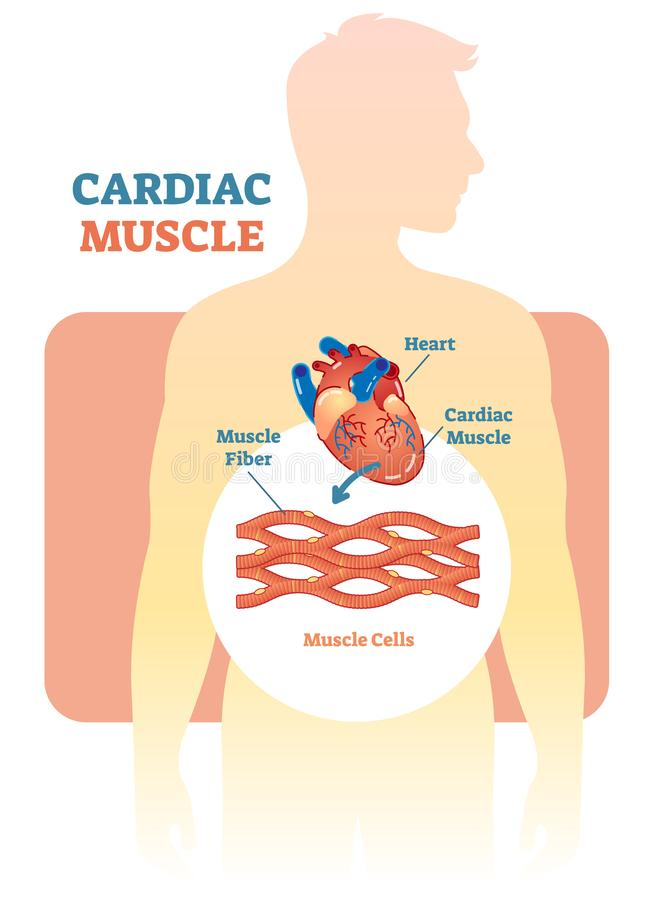 Cardiac muscle vector illustration diagram, anatomical scheme with human heart. Medical educational information vector illustration