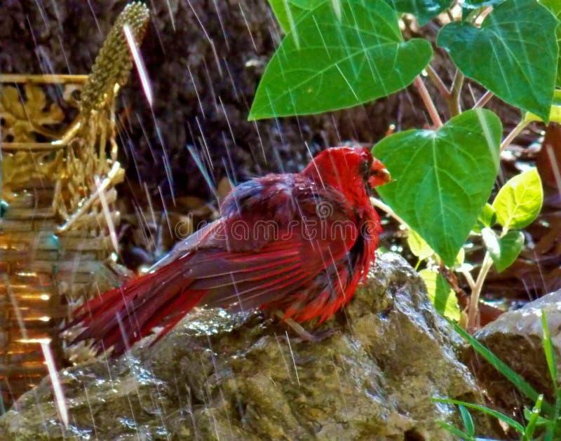 Cardinal, 'o Redbird 'aprecia a chuva fotografia de stock