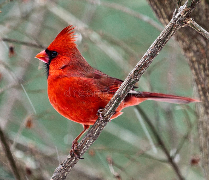 Cardinal 0247 photo libre de droits