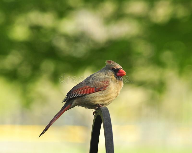 Download Cardinal stock photo. Image of outdoors, feeder, perched - 14590160
