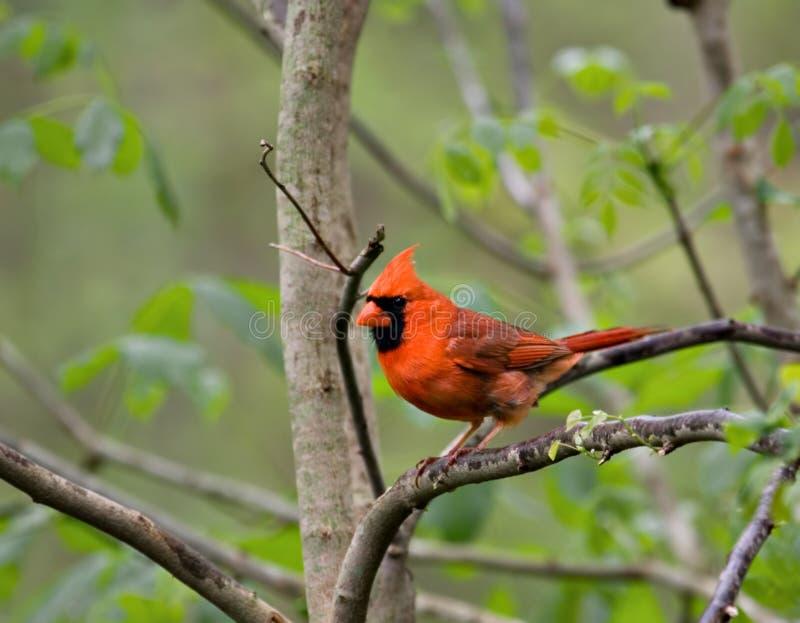 Cardinal (2) royalty free stock photos