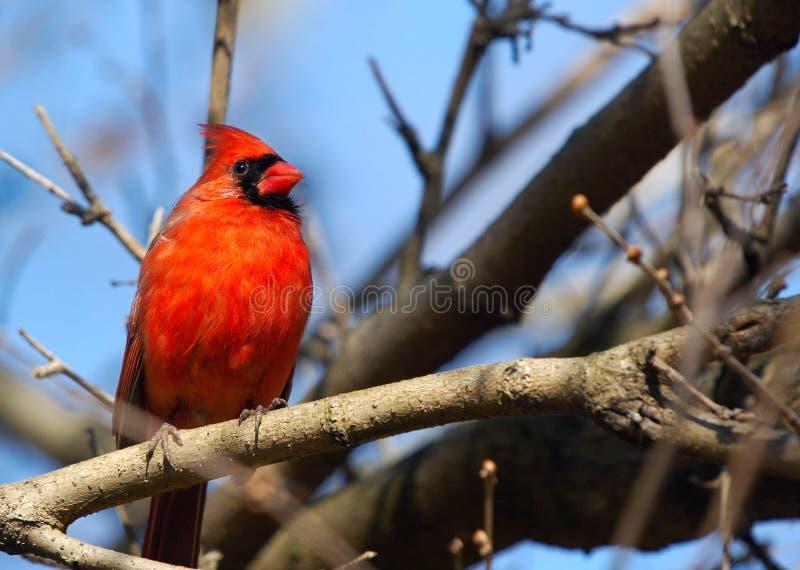 Cardinal photos stock