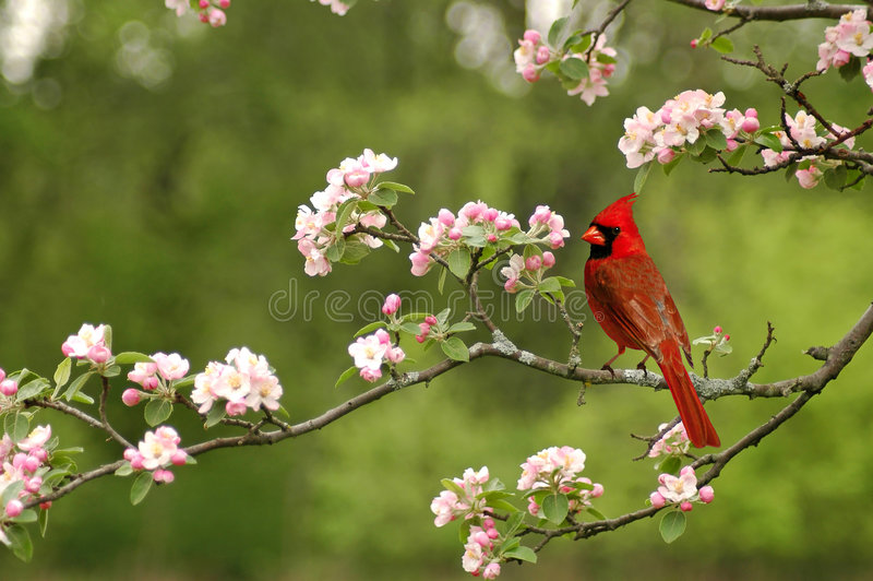 Cardinal. A picture of a male cardinal in a cherry blossom tree