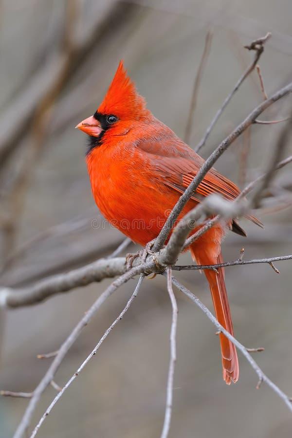 cardinal 3b стоковое изображение rf