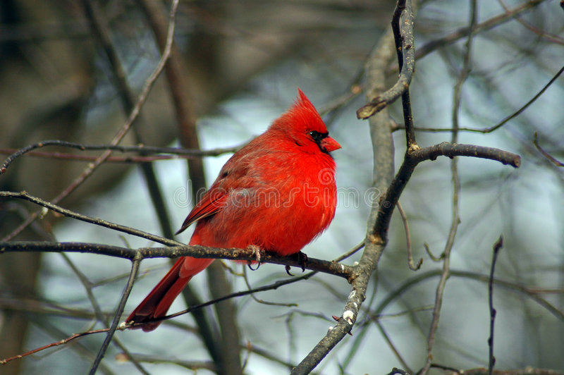 Cardinal 4. A Picture of a male cardinal on a limb in a forest in indiana stock photos