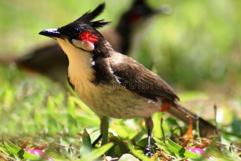 Cardinal royalty free stock image