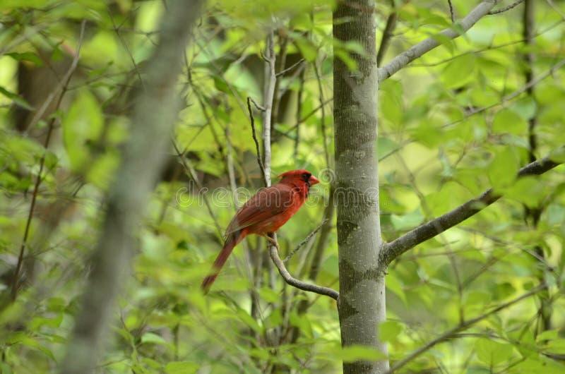 cardinal imagens de stock royalty free