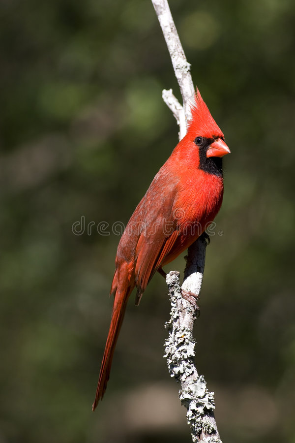 Cardinal fotos de stock royalty free