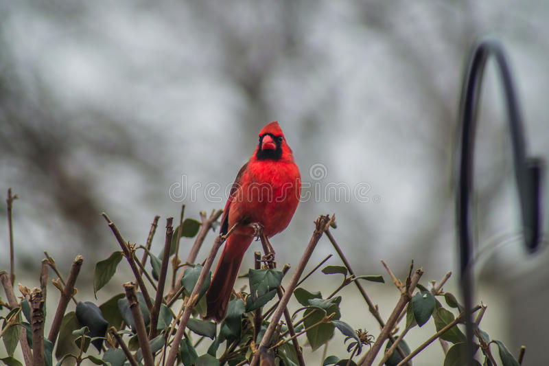 Cardinal-1 images stock