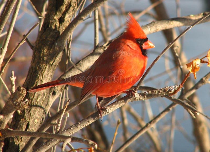 Cardinal-9 foto de stock royalty free