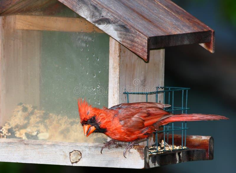 Cardinal at bird feeder stock image
