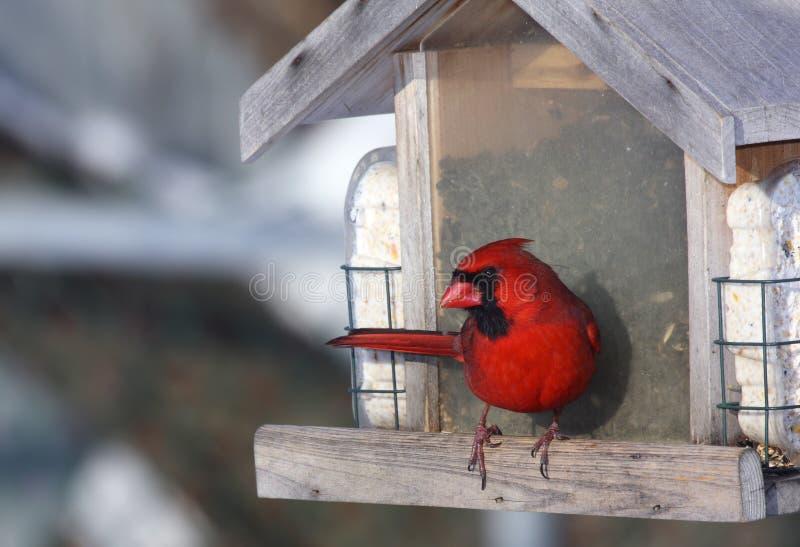 Cardinal at bird feeder royalty free stock photos