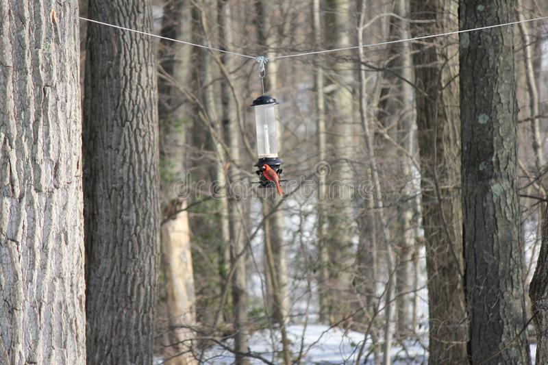 Cardinal on bird feeder with snowy woods in the background royalty free stock photo