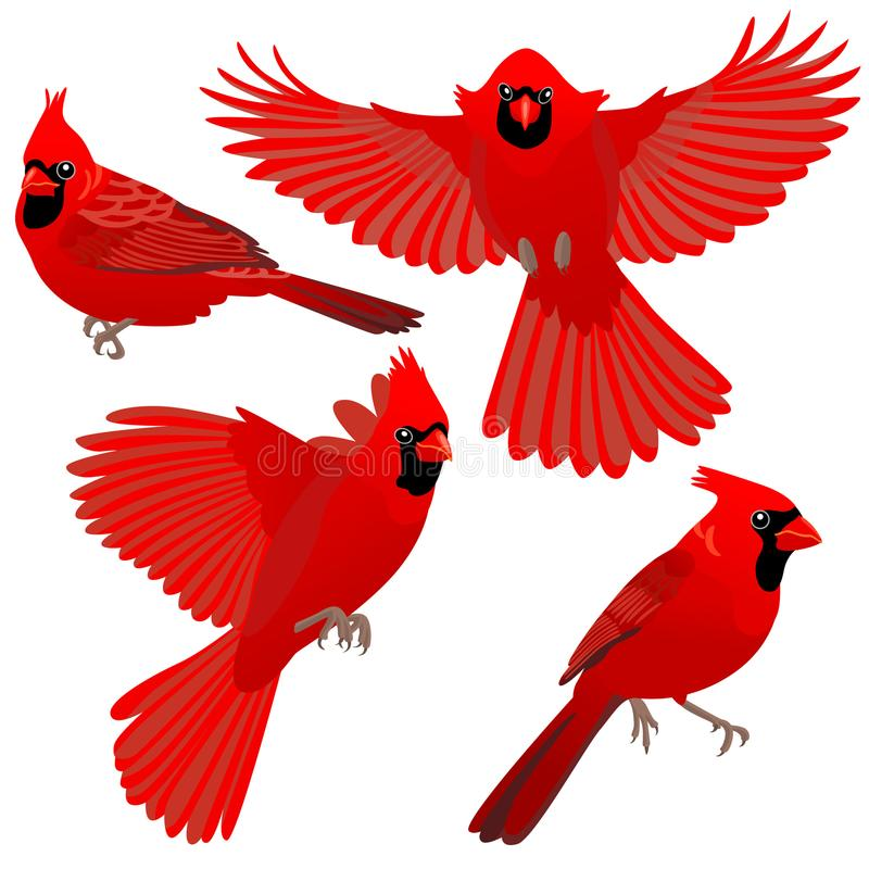 Four poses of Cardinal bird. Cardinal birds are sitting and flying on white background vector illustration