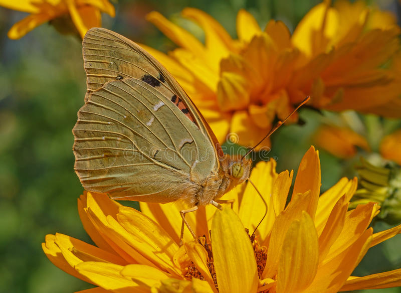 Cardinal butterfly on yellow flower stock image