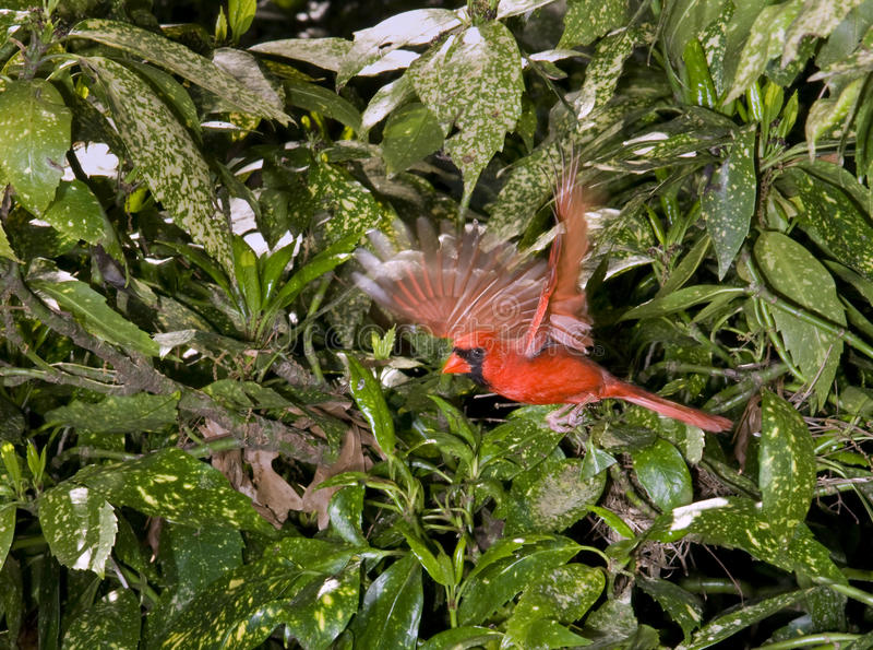 The cardinal (Cardinalis cardinalis) flying. The northern cardinal male (Cardinalis cardinalis) flying. The conjunction of daylight with flash lighting provided stock image