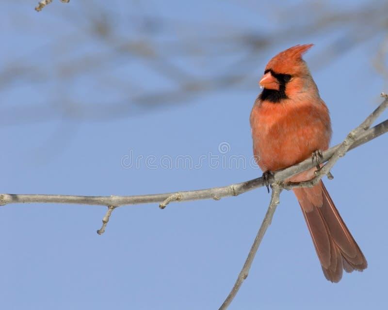 Cardinal (cardinalis de Cardinalis) photographie stock