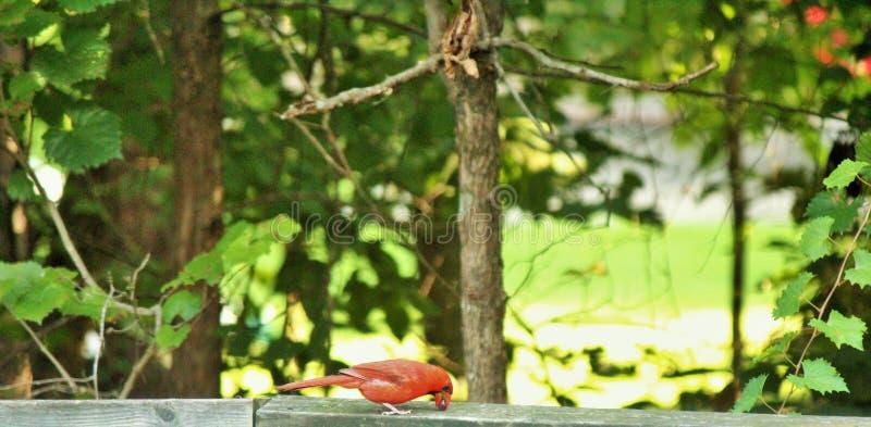 Cardinal comendo o petisco com fotos de stock royalty free