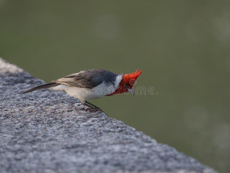 Cardinal crêté rouge photo stock