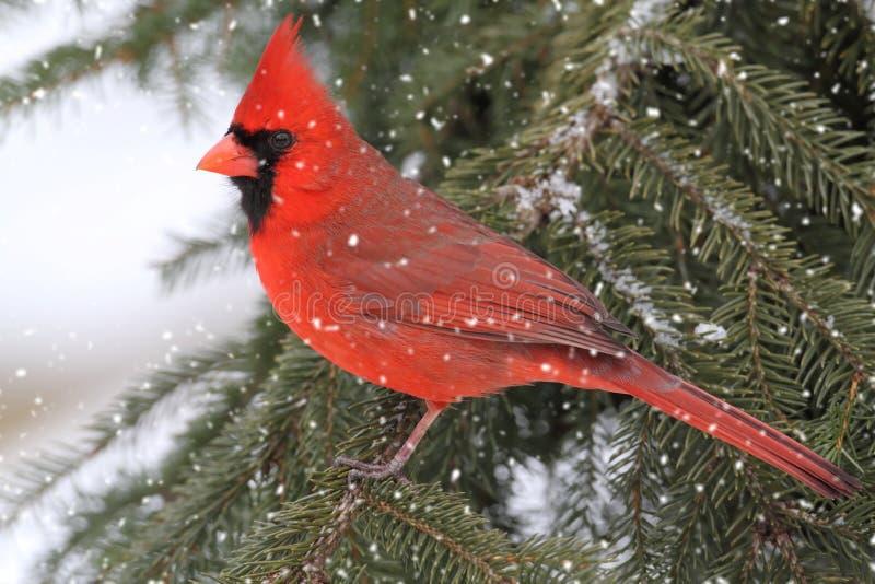 Cardinal dans une tempête de neige photo stock