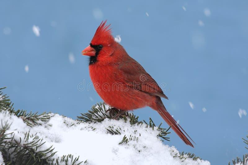 Cardinal dans une tempête de neige images libres de droits