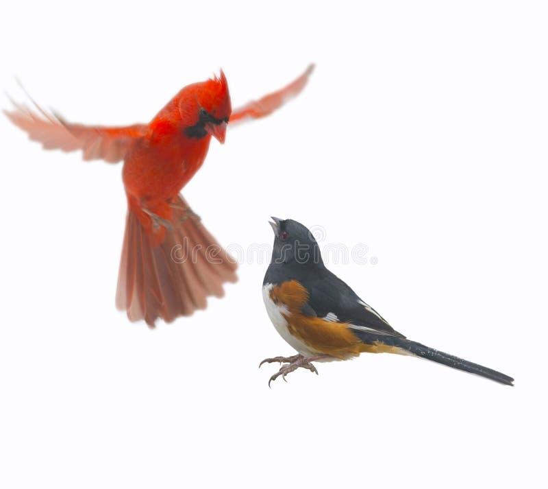 Cardinal de combat et Tohee image stock