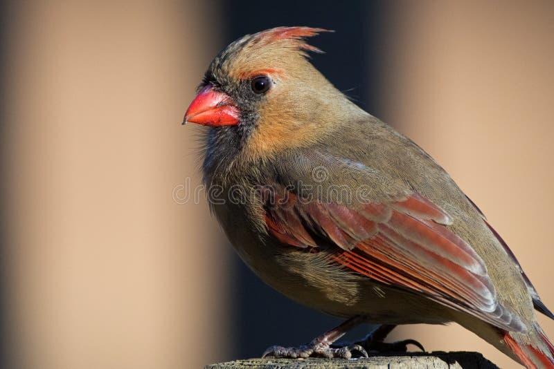 Cardinal Detail stock photos