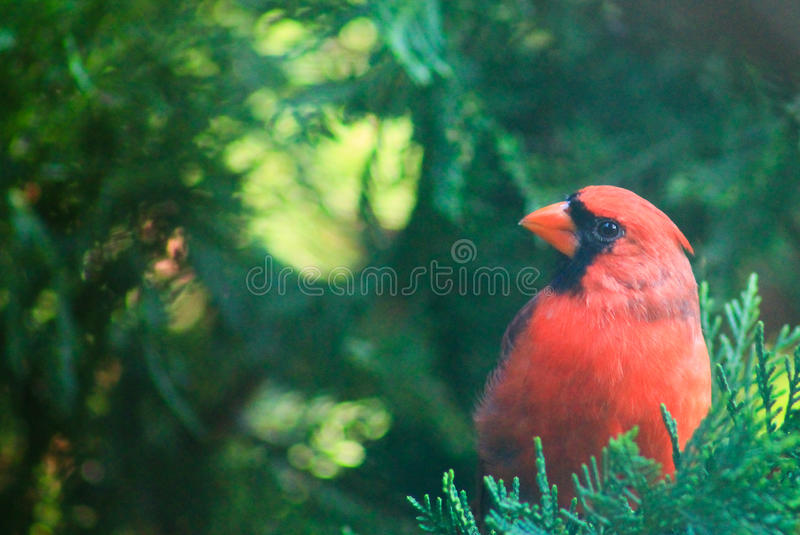 Cardinal- Did you say something? stock images