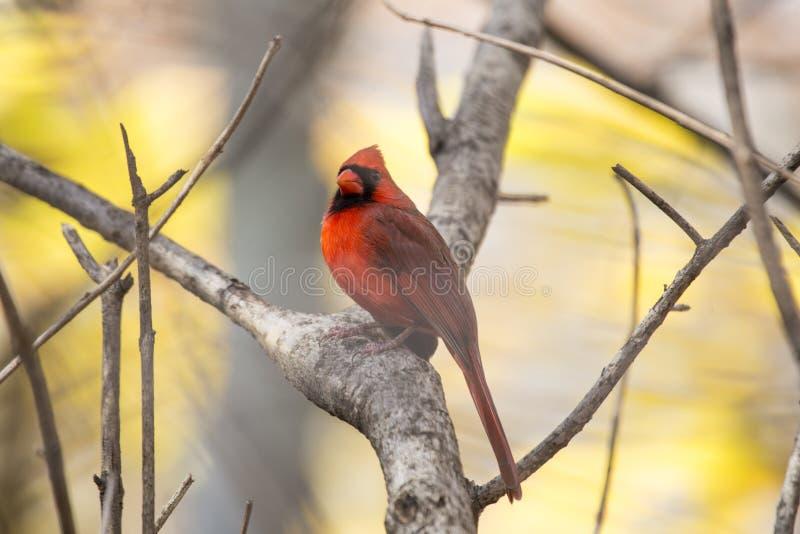 Cardinal du nord et x28 ; Cardinalis& x29 de Cardinalis ; image libre de droits