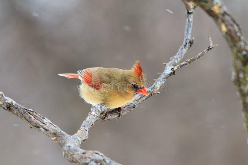 Cardinal du nord - fond coloré d'oiseau - survie Amérique photo libre de droits