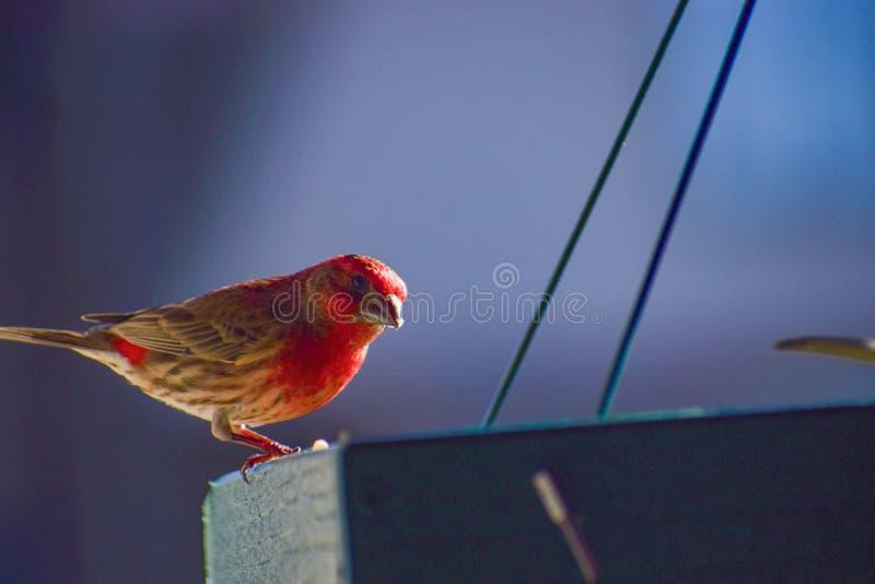 Cardinal en el alimentador en la luz del sol imagen de archivo libre de regalías