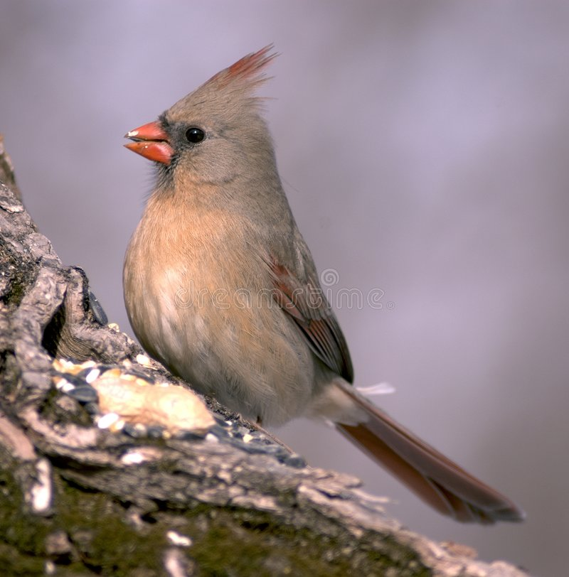 Cardinal féminin image libre de droits