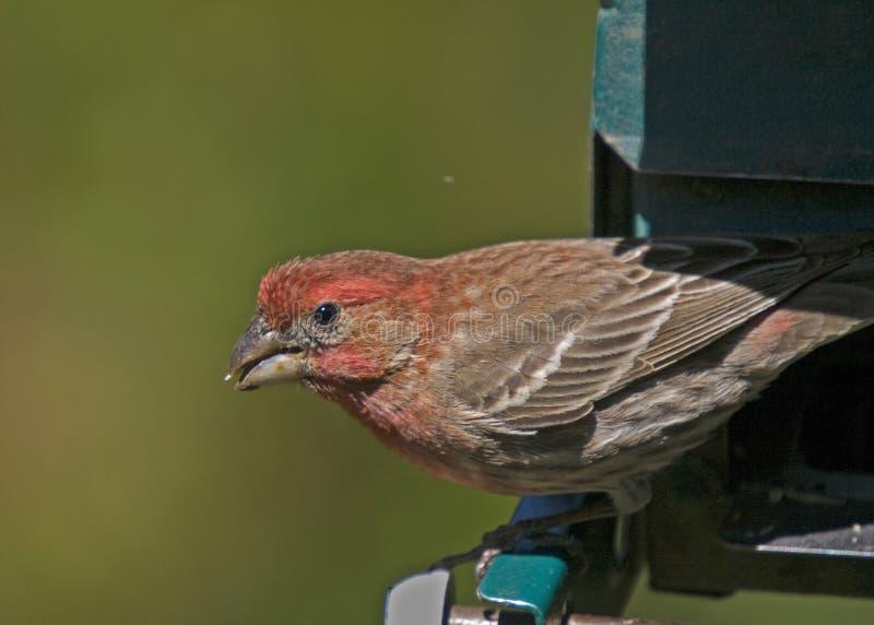 Cardinal féminin avec la graine photo libre de droits