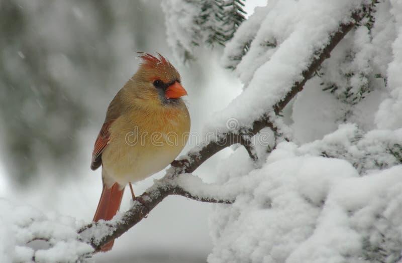 Cardinal féminin dans la neige image libre de droits