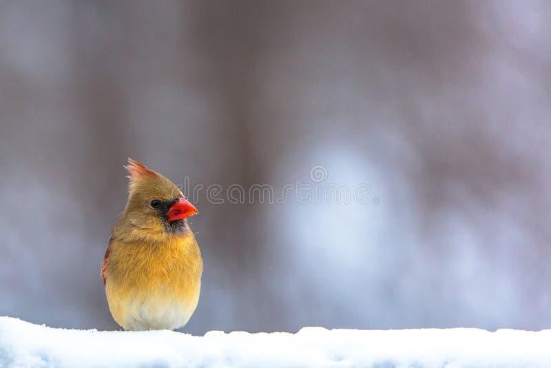 Cardinal féminin dans la neige photographie stock