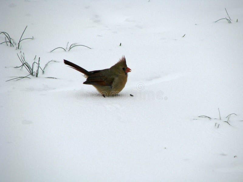 Cardinal féminin dans la neige photos libres de droits