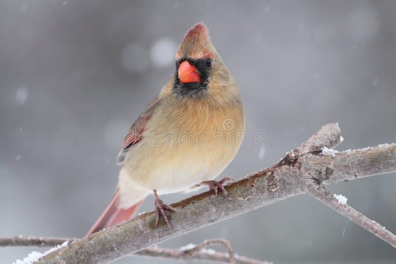 Cardinal féminin dans la neige photos stock