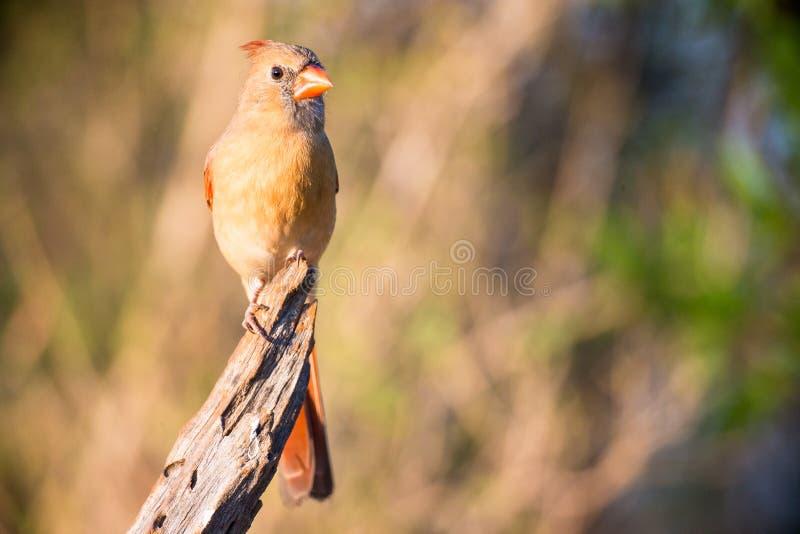 Cardinal féminin sur la branche photos libres de droits