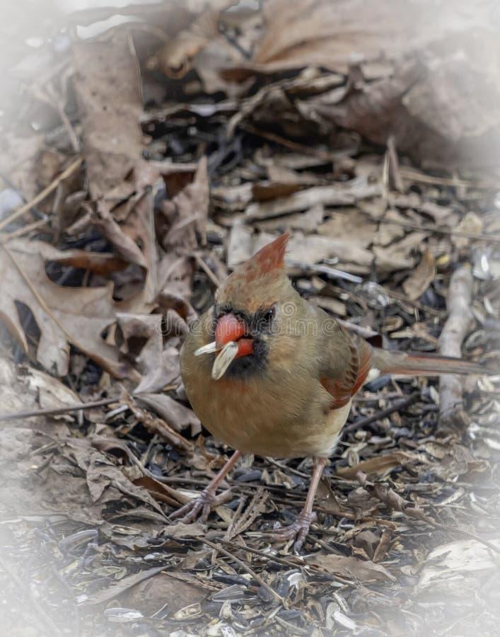 Cardinal féminin sur la terre avec deux graines images stock