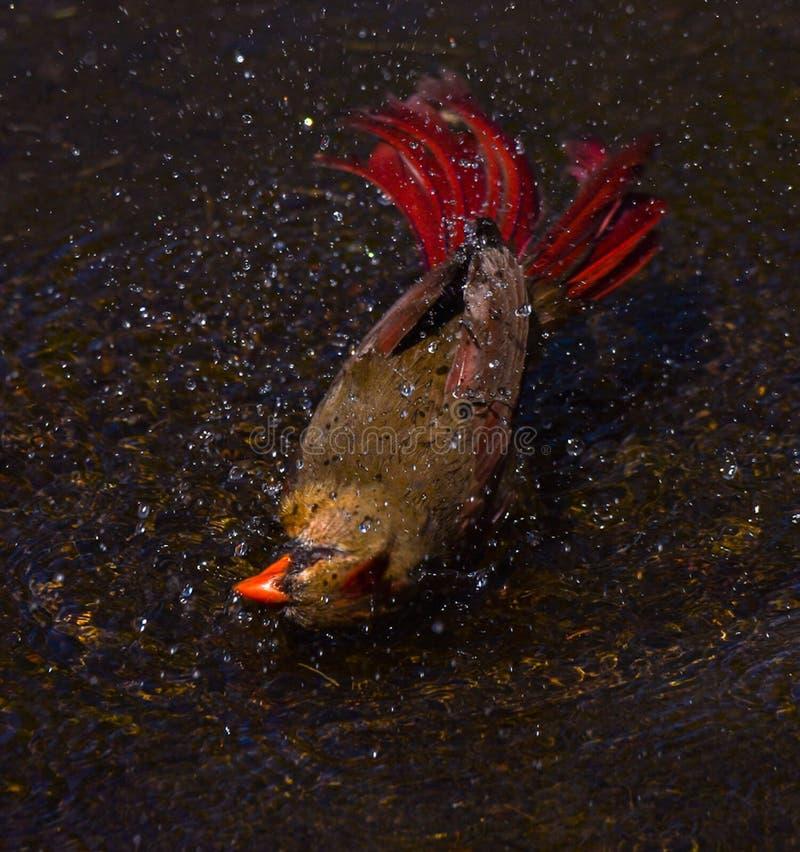 Cardinal fêmea do respingo de Splish tomando um banho foto de stock royalty free