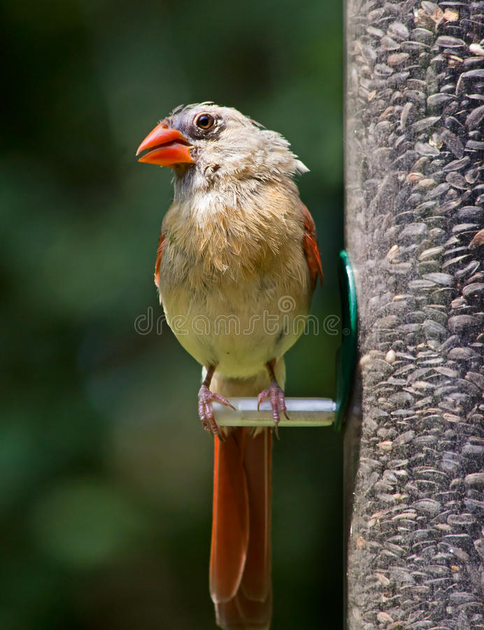 Cardinal Female royalty free stock images