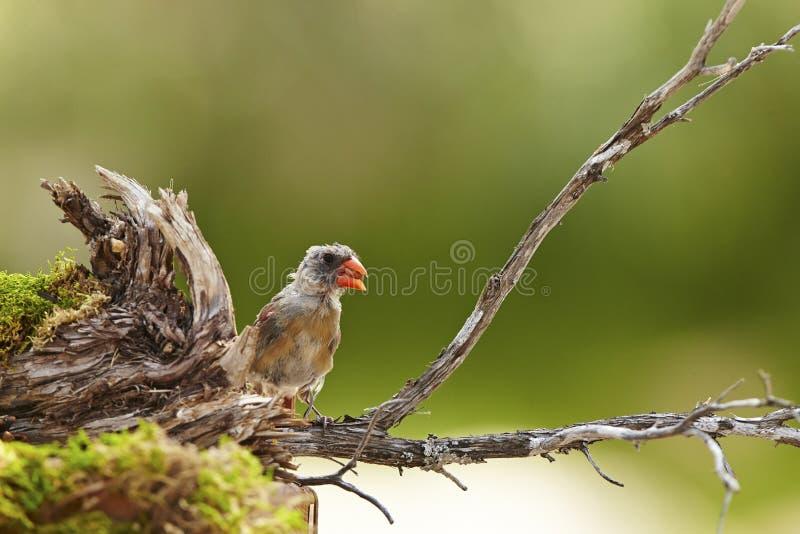 Cardinal. Female molting nature wildlife stock image